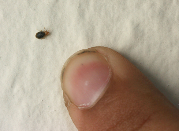 bed bugs in your home