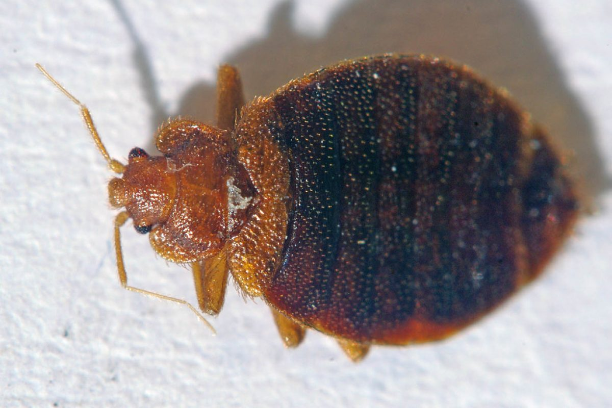 Bed Bugs Treatments – How To Get Rid Of These Unsightly Insects