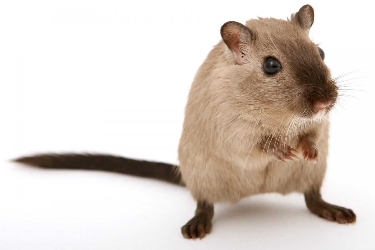 Rat Infestations and How to Get Rid of Rodents From Your Property